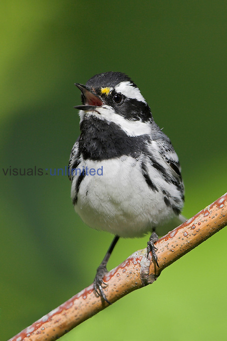 Black-throated Gray Warbler (Dendroica nigrescens) singing on a branch in Victoria, British Columbia, Canada.