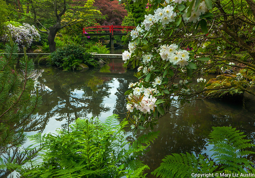 Kubota Garden, Seattle, WA: White blossoming rhododendron and Heart Bridge