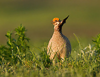 Lesser prairie chicken male at sunrise at a lek in central Oklahoma<br />