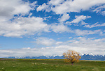 A lone yellow tree is seen in a grassy field with the mountains in the background and puffy white clouds overhead in St. Ignatius, Montana.