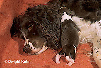 SH20-012z  Dog - nursing English Springer puppies just born, 8 hours old