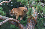 Cougar or Mountain Lion (Felis concolor) - captive, in tree watching down below, tail wrapped around tree  .animal - mammals.USA.Mammals.p-mam111-50.Robert Pickett.www.papiliophotos.com  Tel: +44 (0)1227 360996.PLEASE READ OUR LICENCE TERMS. ALL DIGITAL IMAGES MUST BE DESTROYED UNLESS OTHERWISE AGREED IN WRITING..
