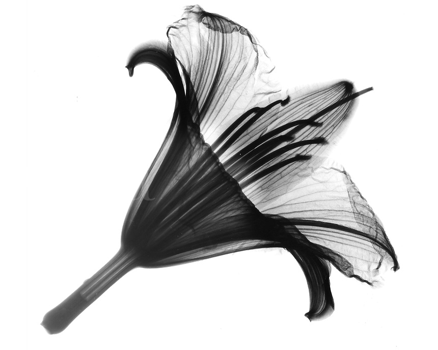 Xray Daylily blossom