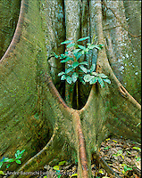 Buttressed base of emergent canopy tree (Brosimum alicastrum) in lowland tropical rainforest, Manu National Park, Madre de Dios, Peru.