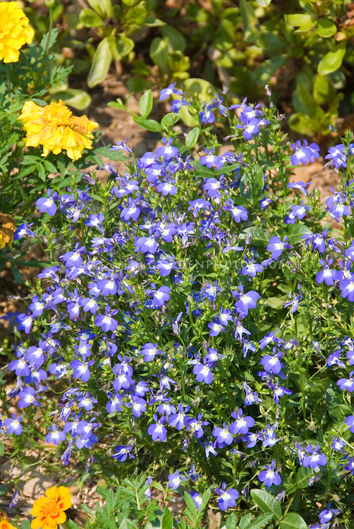 Tiny flowers of Lobelia erinus Laguna Compact Blue with Eye