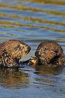 Sea Otter (Enhydra lutris) mother (left) sharing mullusc with pup.  Pup is about three to four months old.
