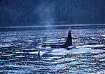 orcas in Johnstone Strait
