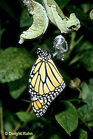 MO04-001b  Monarch Butterfly - just hatched from  chrysalis - Danaus plexippus