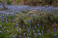 Texas Hill Country Bluebonnets and Yucca Trees among Pink Granite rocks, Texas Hill Country, Texas, USA.