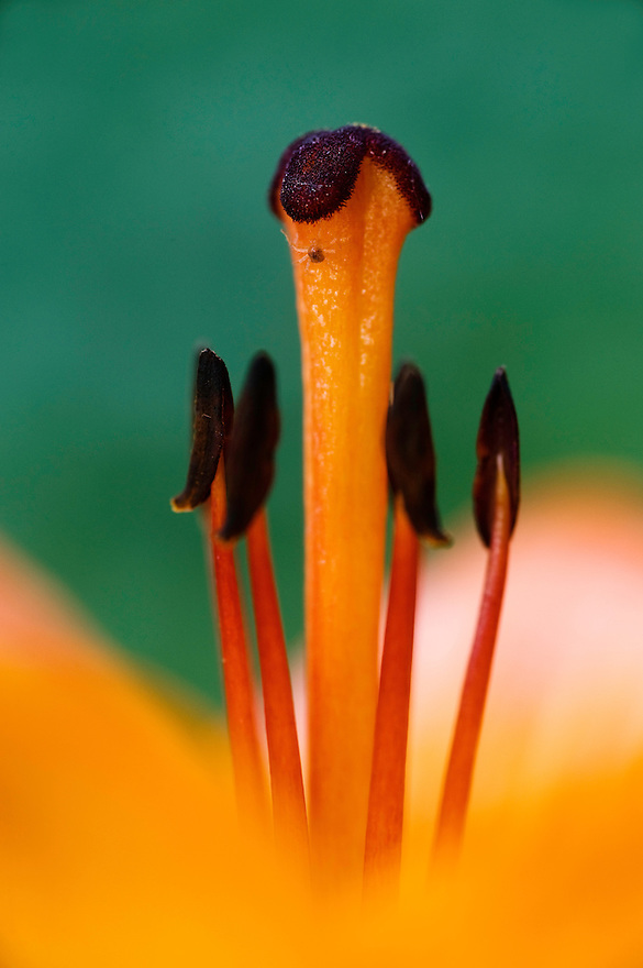 Fire Lily (Lilium bulbiferrum)<br /> Triglav National Park, Slovenia<br /> June 2009