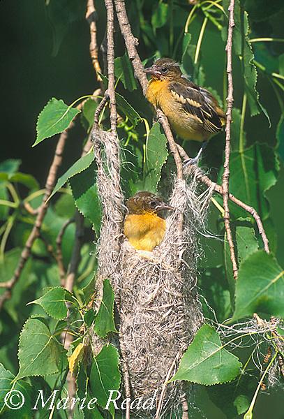 Baltimore Orioles (Icterus galbula), two fledglings leaving the nest, Ithaca, New York, USA<br /> B166-362