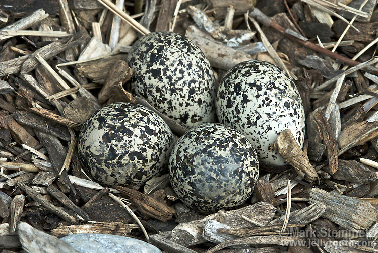 Close-up of four eggs in a Killdeer (Charadrius vociferus) nest, Ottawa County, Ohio, USA