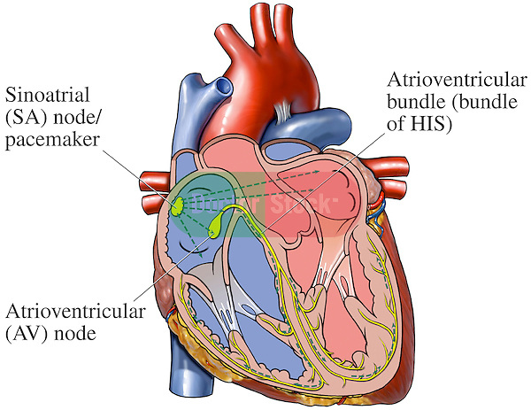 Cardiac Conduction System of the Heart   Doctor Stock