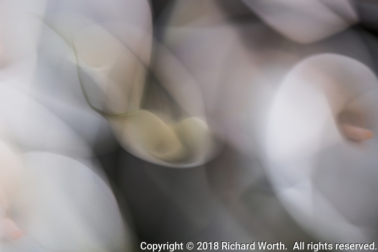 Whirls and swirls of white - Calla Lilies in abstract.