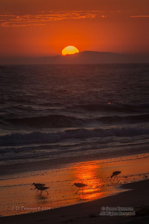 Sandpipers, Crystal Cove, California
