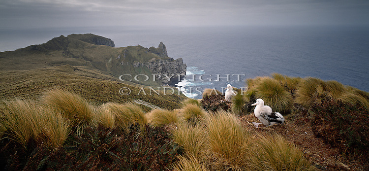 Wandering Albatross chicks on nest at the Antipodes Islands. New Zealand Sub-Antarctic Islands.
