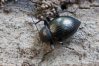 Tenebrionid beetle; Meracantha contracta; under bark; PA, Fort Washington State Park;