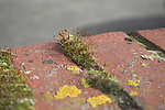 Biotic weathering by lichen growing on mortar cracks