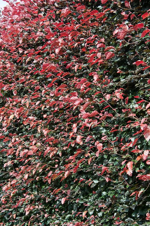Copper beech hedge (Fagus sylvatica Purpurea Group), late June.