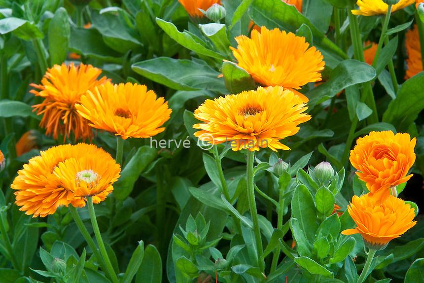 soucis, Calendula officinalis, cultivar // pot marigold, Calendula officinalis (cultivated variety)