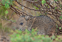 650520191 a baby javelina or collared peccary dicolytes tajacu on beto gutierrez ranch hidalgo county texas united states
