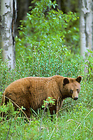 Cinnamon phase of Black Bear (Ursus americanus).  Brown or cinnamon coloration is common in the Rockies.  June.