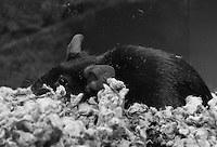 "A black female mouse collapses on the bedding in a pose that reminds me of someone saying, ""is it Monday … again?"""