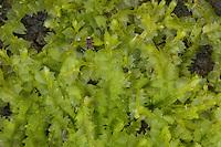 Zweizähniges Kammkelchmoos, Zweizahn-Kammkelchmoos, Kamm-Kelchmoos, Lophocolea bidentata, Lophocolea cuspidata, Jungermannia bidentata, Lebermoos, Lebermoose, Marchantiophyta, Marchantiatae, Hepaticae, Jungermanniales, hepatics, liverworts
