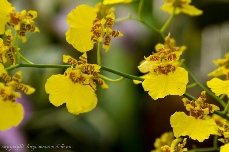 Dancing Ladies Orchid, Golden Showers Orchid, Oncidium Goldiana