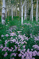 Showy daisy and aspens<br />