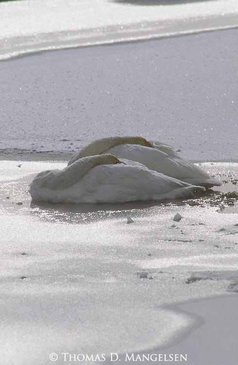 Two trumpeter swans tuck their heads under their wings against the cold of a winter day.