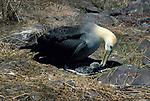 Waved Albatross, Diomedea irrorata, with chick on nest, Espagnola Island, Galapagos, .