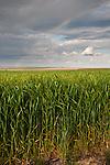 Rainbow over the wheat fields along Washignton SR 21 in rural Adams County.