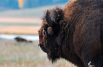 Bison Male, Close Portrait, Lamar Valley, Yellowstone National Park, Wyoming