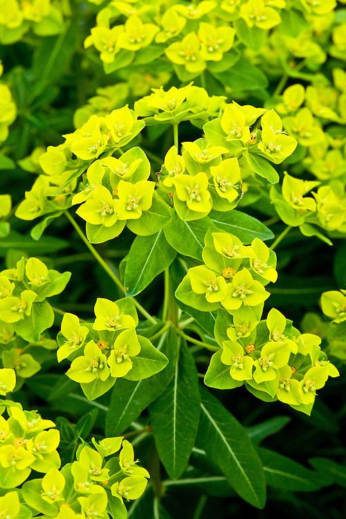 Euphorbia cornigera, end June.