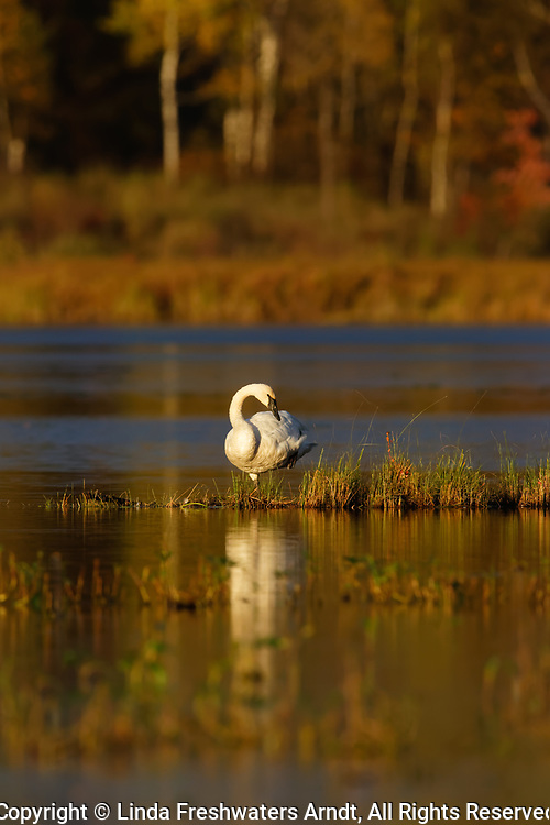 Trumpeter swan on a wilderness lake in northern Wisconsin.
