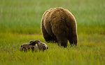 Brown bear cub plays while its mother feeds on grass in Lake Clark National Park, Alaska, USA, June 24th 2008.  Photo by Gus Curtis