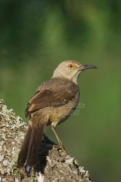 Curve-billed Thrasher, Toxostoma curvirostre, adult, Willacy County, Rio Grande Valley, Texas, USA, June 2006