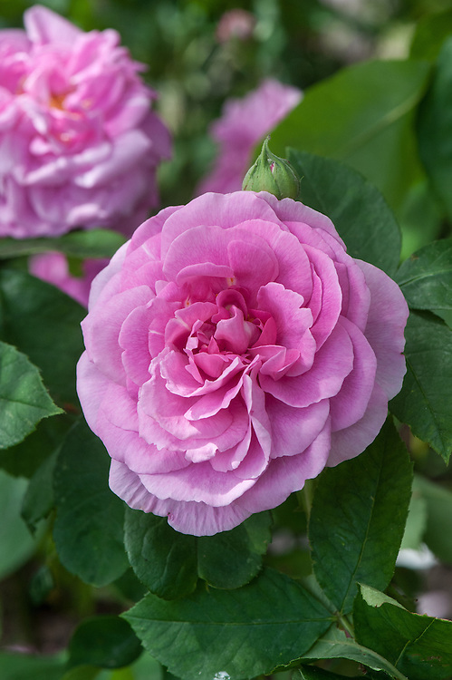 Rosa Gertrude Jekyll ('Ausbord'), late June. A modern shrub rose bred by David Austin from 'Wife of Bath' and 'Comte de Chambord', and first introduced in 1986. It has small clusters of pink flowers, pale crimson at the centre fading to palest pink at the edges.