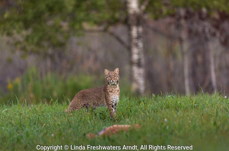 Bobcat approaching a dead fawn in a northern Wisconsin field