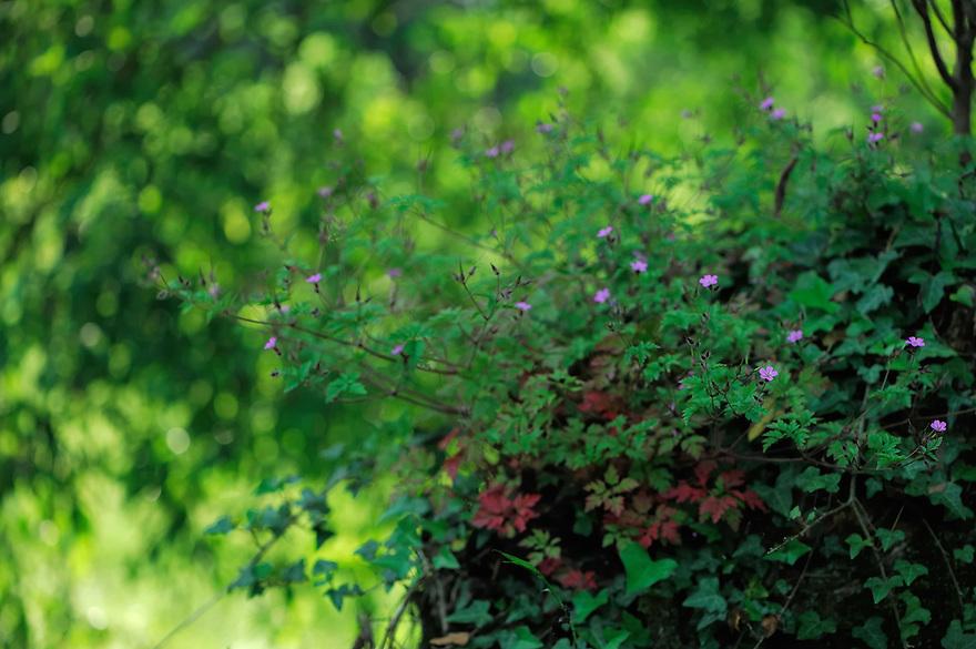 Robert geranium, Herb Robert, Red Robin, Mullerthal trail, Mullerthal, Luxembourg