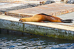 Sea Lion on dock at Mission Bay near San Diego soaking up the sun.