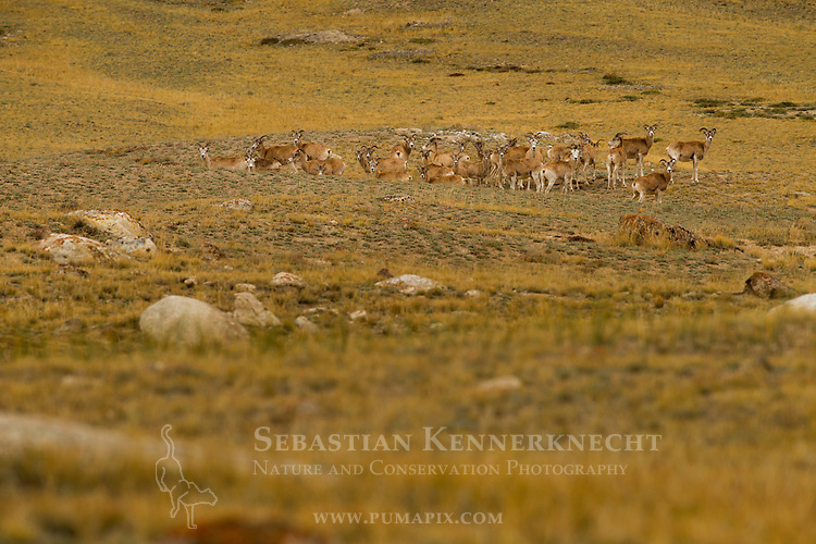 Argali (Ovis ammon) female herd, Sarychat-Ertash Strict Nature Reserve, Tien Shan Mountains, eastern Kyrgyzstan