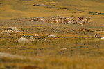 Argali (Ovis ammon) female herd, Sarychat-Ertash Strict Nature Reserve, Tien Shan Mountains, eastern Kyrgyzstan