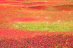blueberry fields, autumn, fall, Maine
