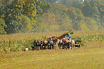 Amish farmers harvesting corn with horse teams. Nippenose Valley, PA.