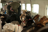 Penair Co-Pilot Willy Morris places dropped dogs into the Cessna Caravan at Nikolai to be flown back to Anchorage during Iditarod 2009