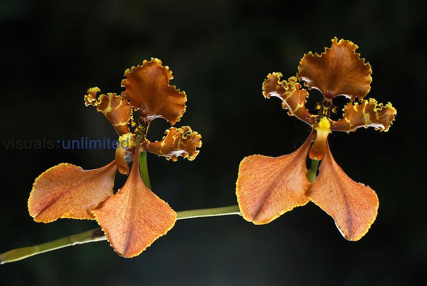 Orchid flowers (Odontoglossum punctatum), Department Putumayo, Colombia