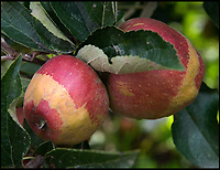 Dobson's choice - Early frost leads to less than perfect apples.