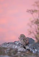 As the color of the setting sun coats the San Franciso Bay, a migratory Burrowing Owl awakes for an evening hunt.
